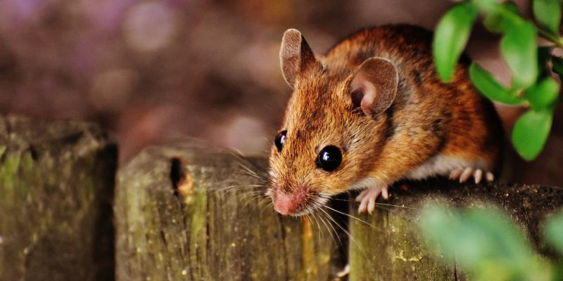 mouse outside on fence