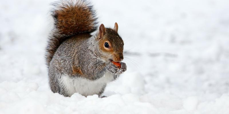 squirrel in snow eating acorn